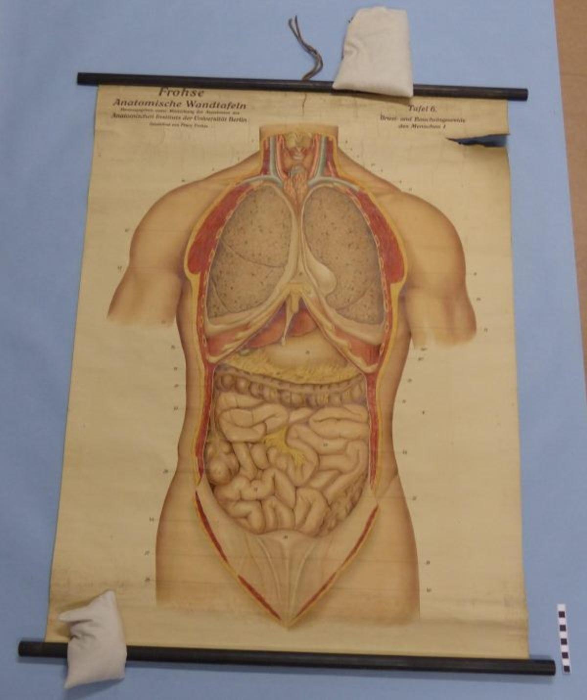 Frohse Anatomische Wandtafeln Tafel Nr. 6 Brust- und Baucheingeweide ...